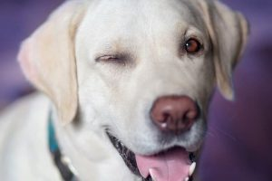 Best Dog Foods For Labs