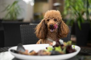 The Best Dog Food for Maltese – What You Need To Know