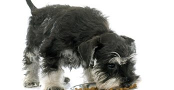 What is the Best Dog Food for Miniature Schnauzers?