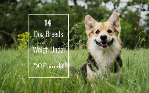 Dog-Breeds-That-Weigh-Under-50-Pounds
